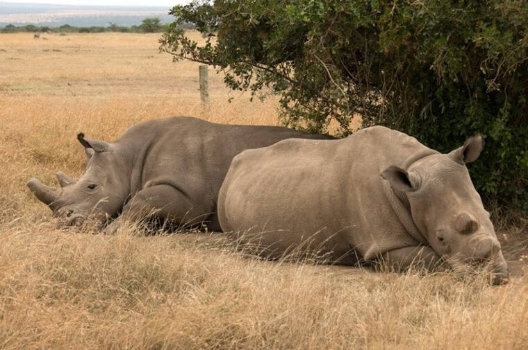 white rhinos cloning