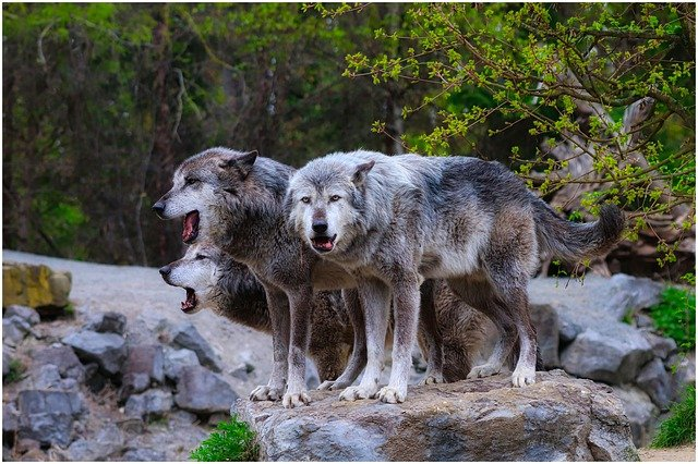 Grey wolves and animal cloning