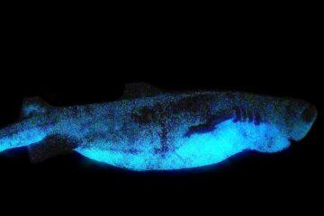 glowing sharks